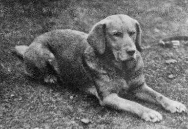 Labrador Retriever Amarelo 3