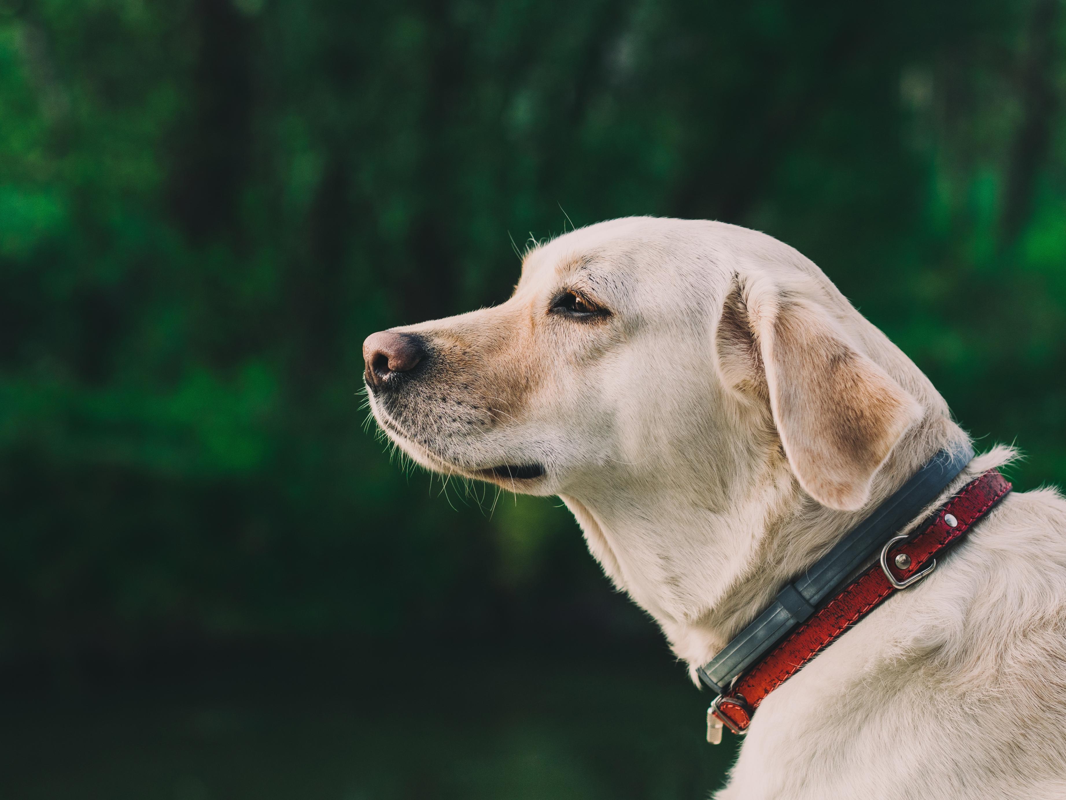 Labrador Retriever Amarelo 2