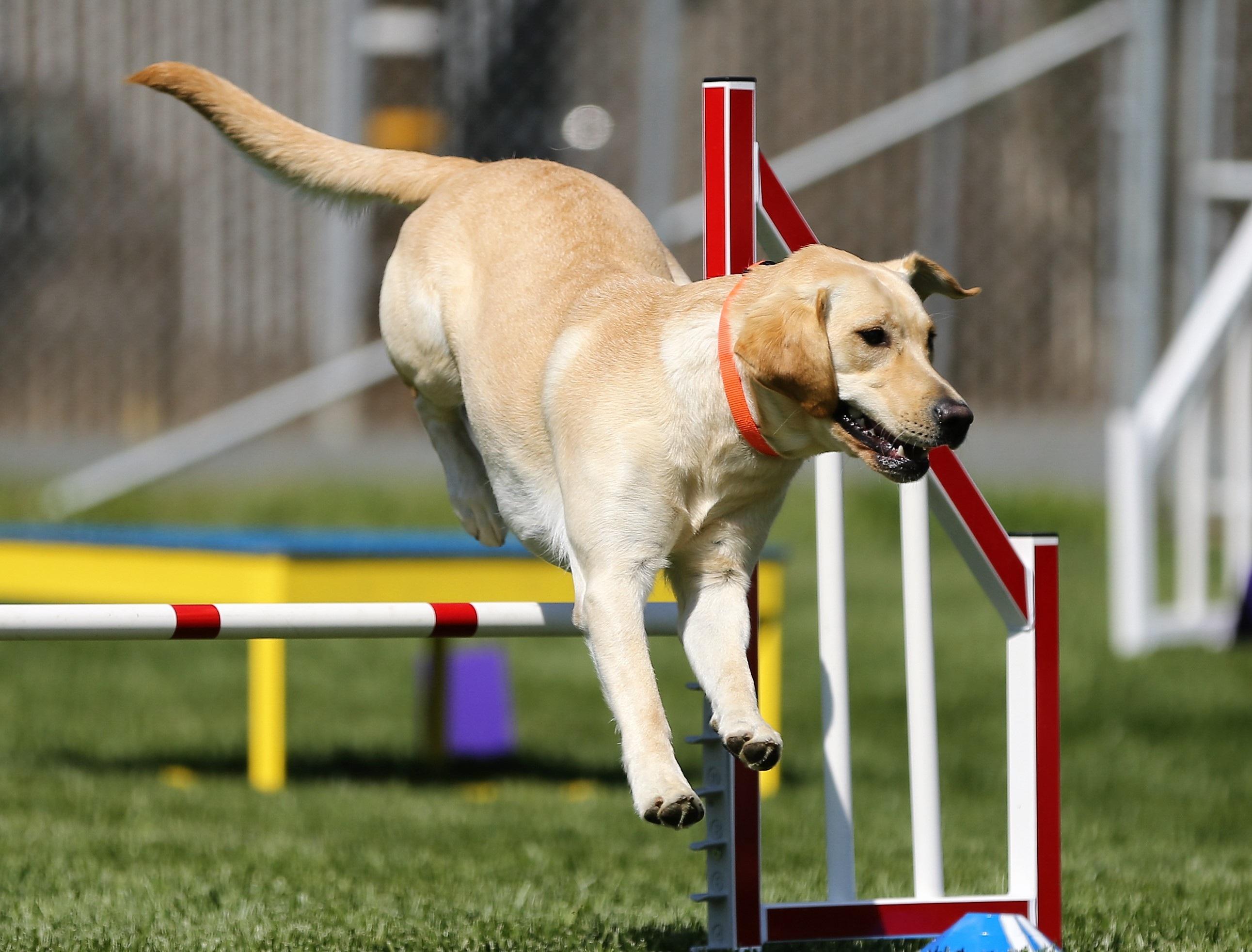 Labrador Retriever Amarelo 1
