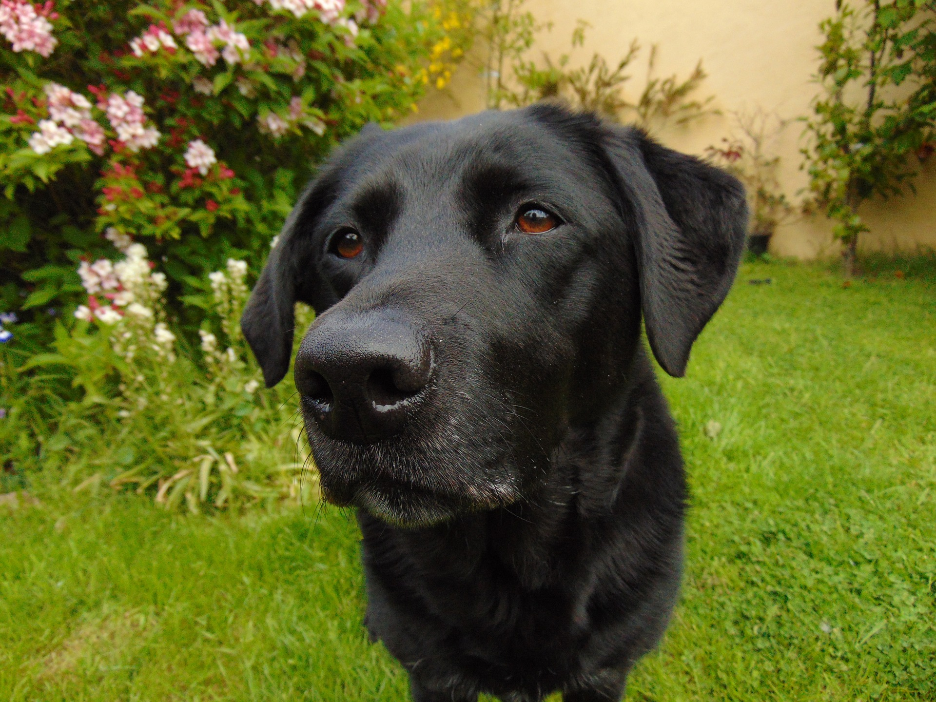 labrador retriever preto 1