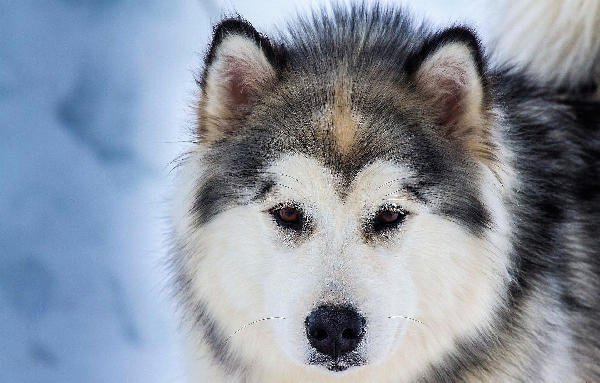 Husky Siberiano 12