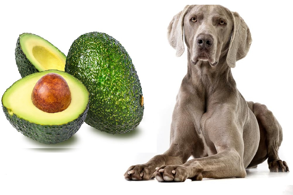 cachorro pode comer abacate 3