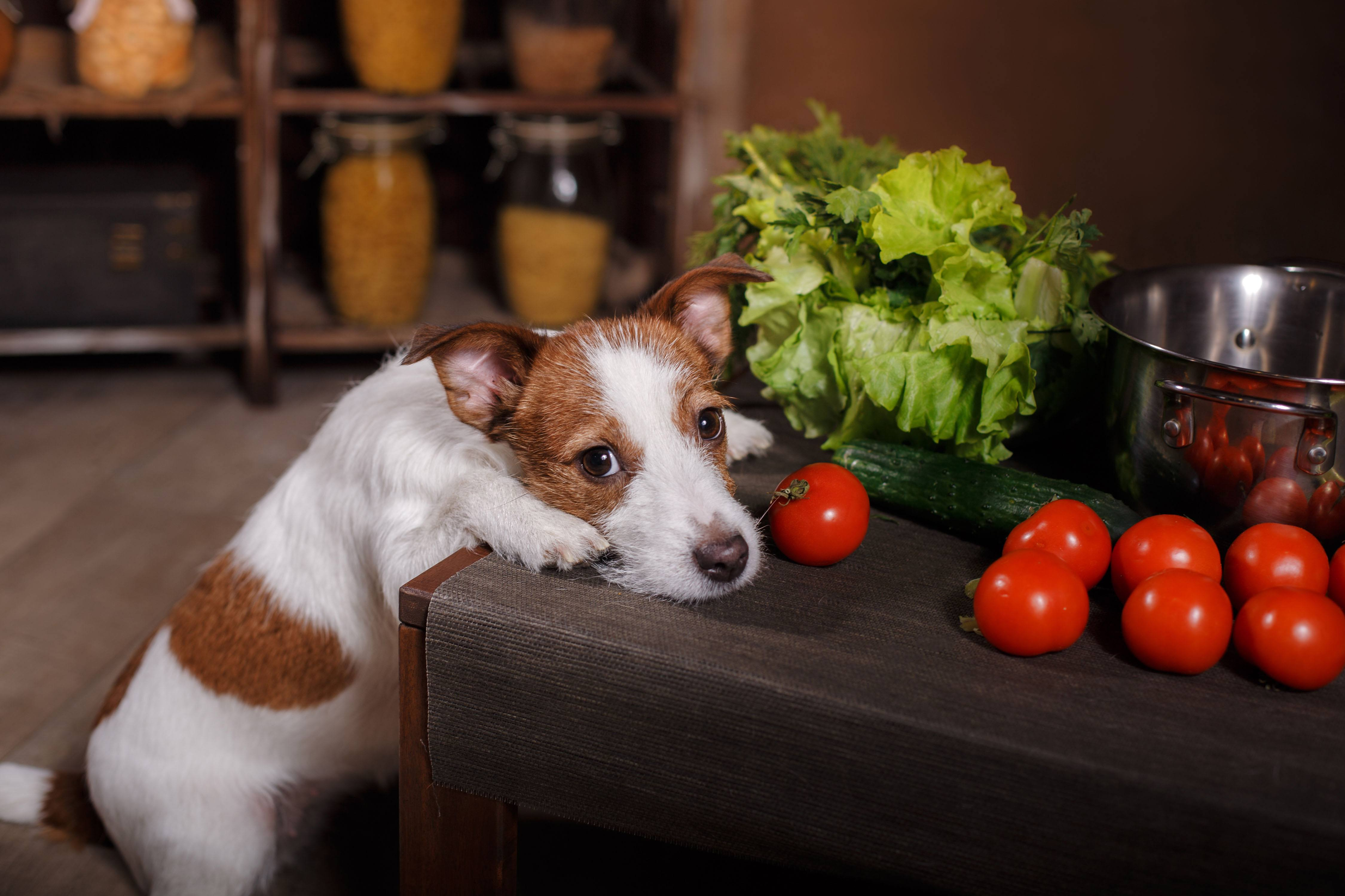 cachorro pode comer tomate 3