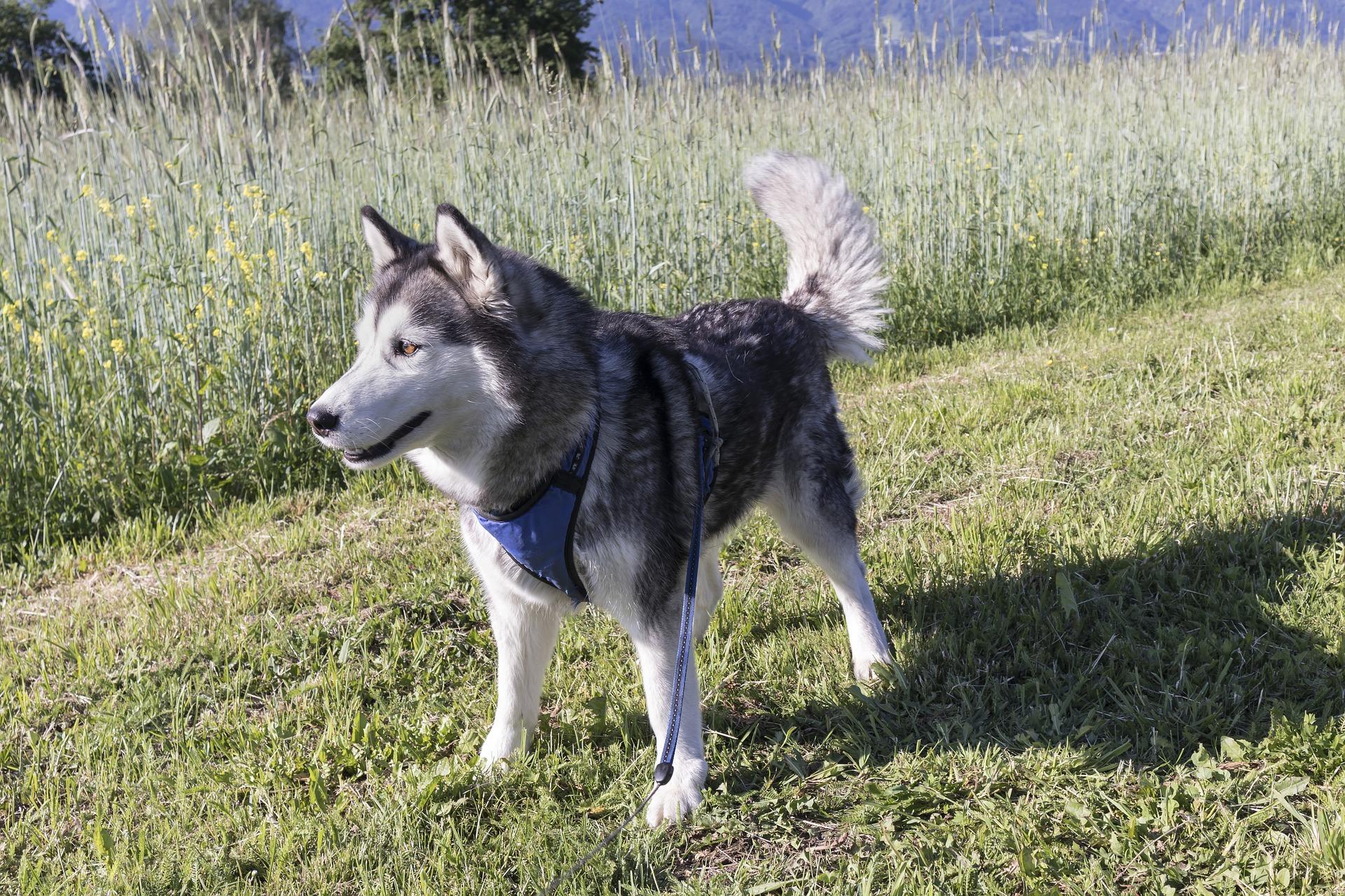 Husky Siberiano 14
