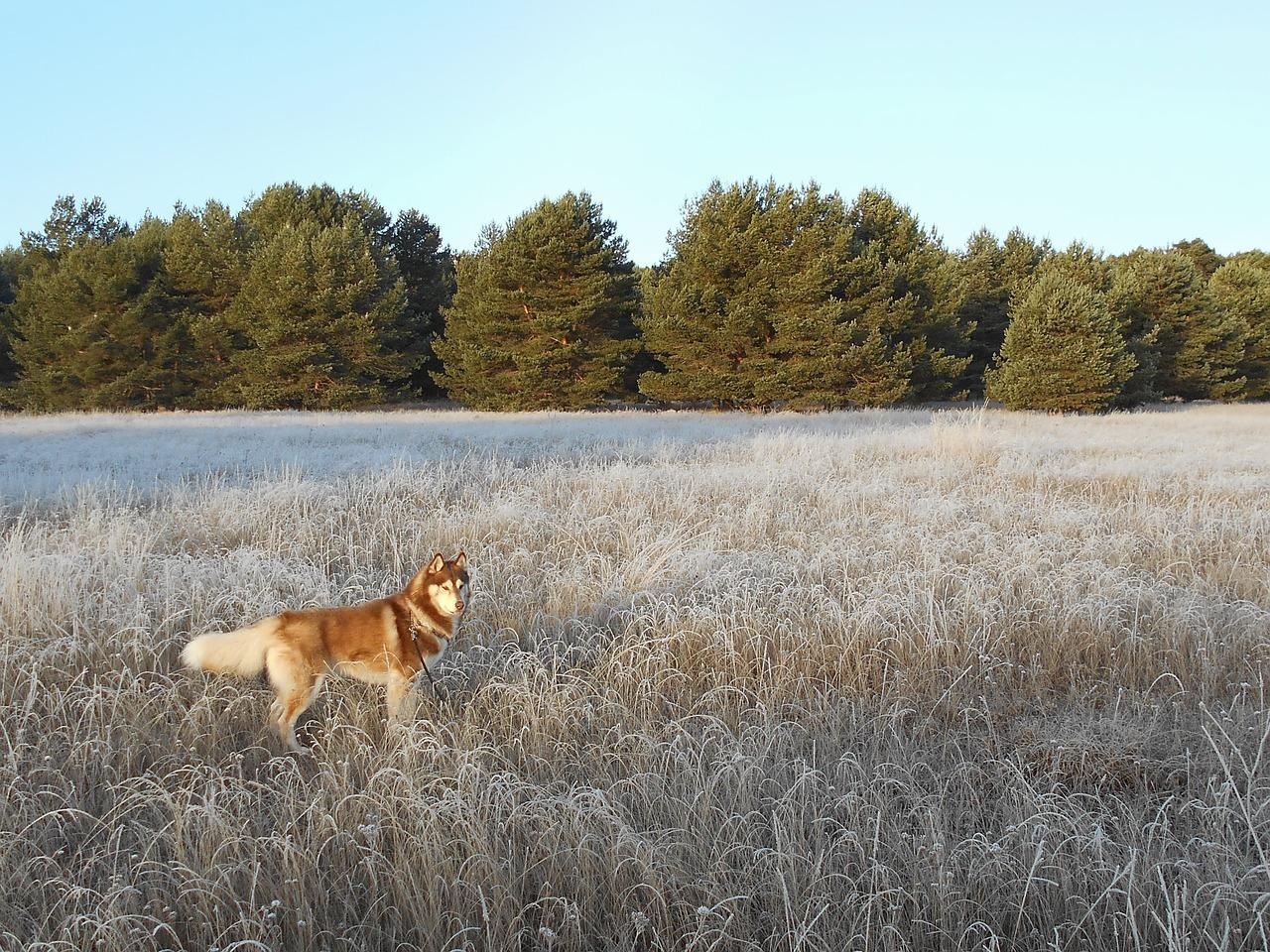 Husky Siberiano 19