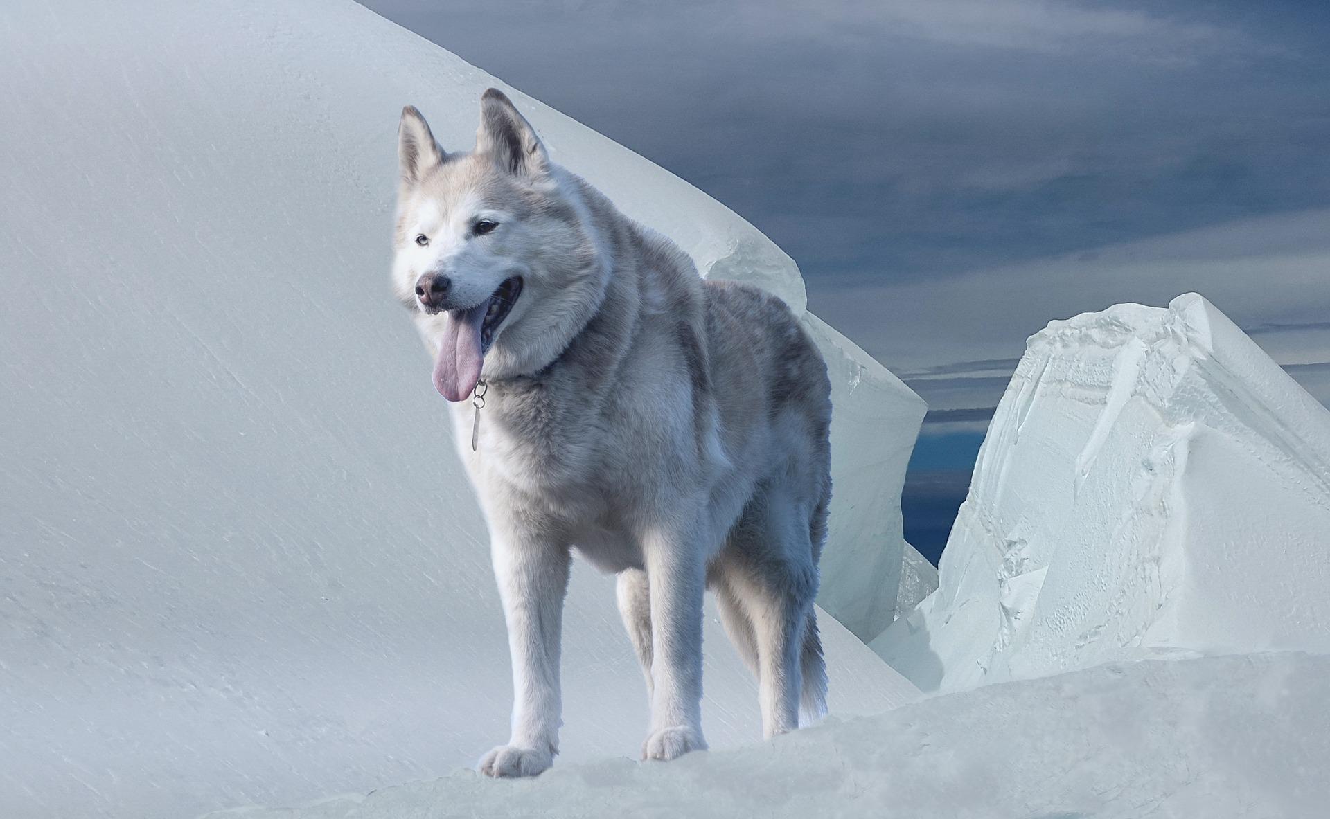 Husky Siberiano 10