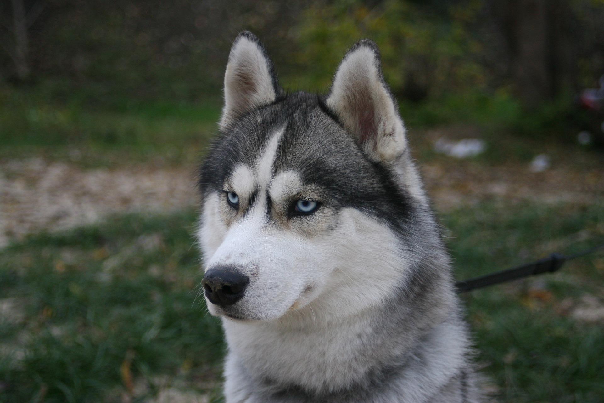 Husky Siberiano 22