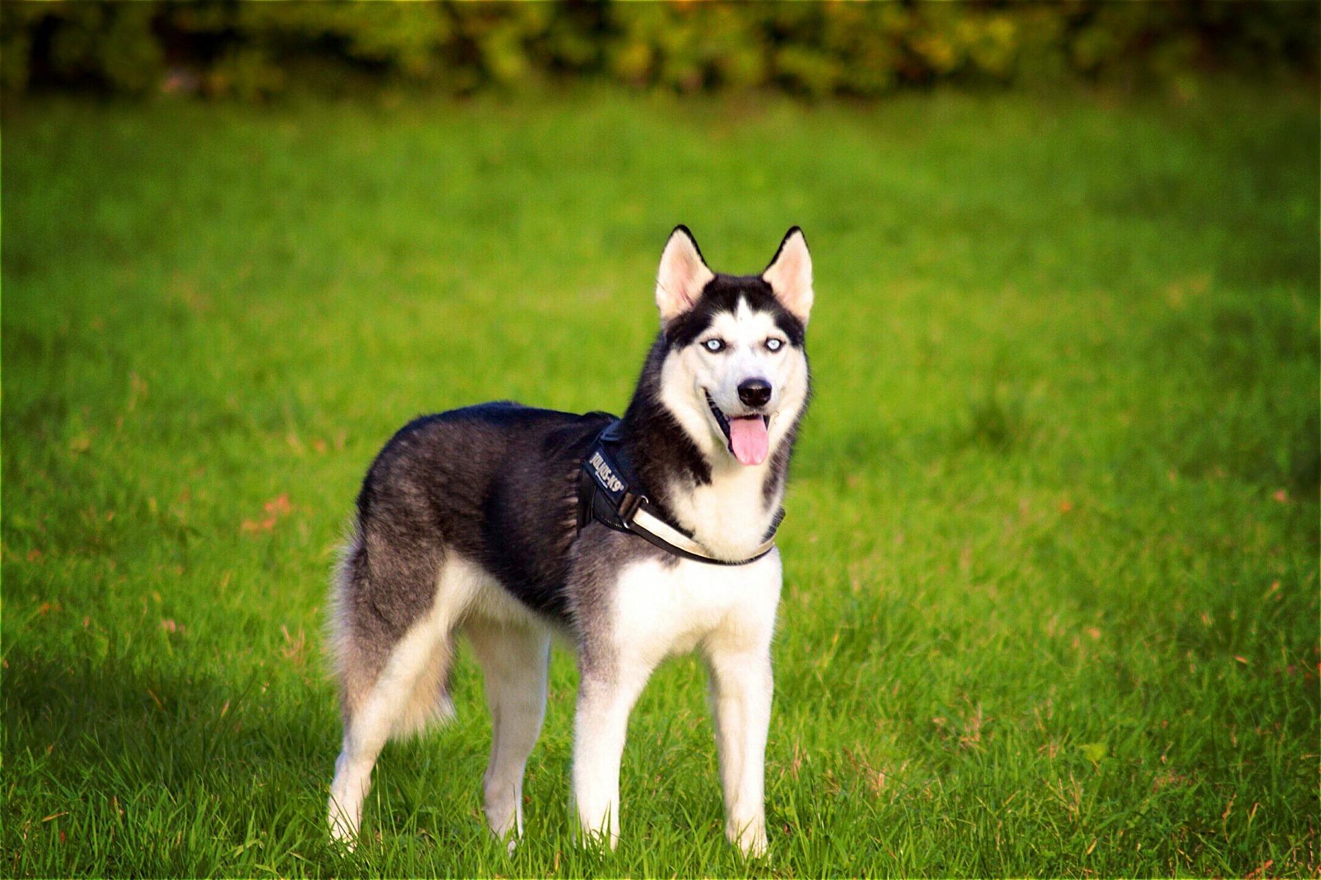 Husky Siberiano 9