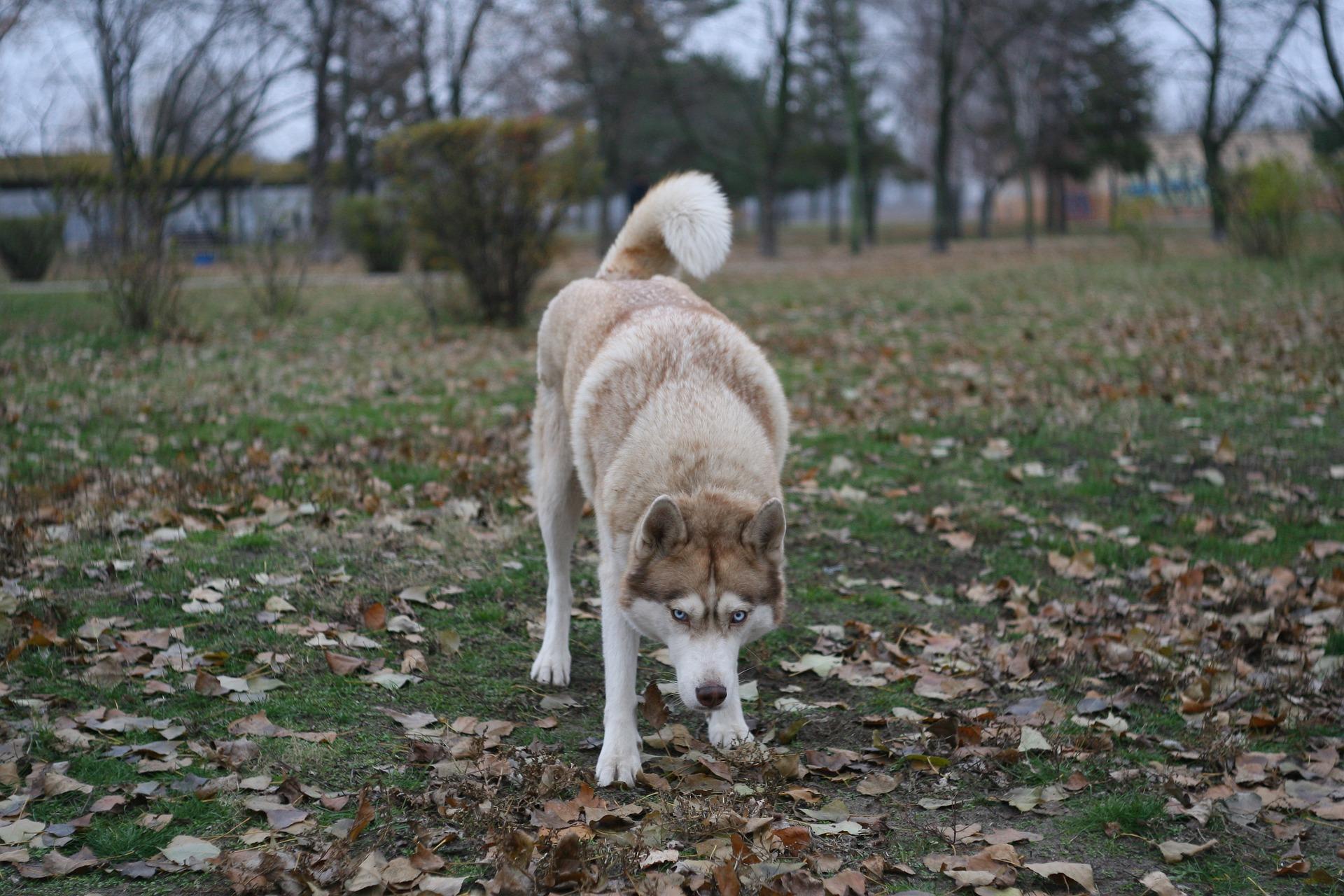 Husky Siberiano 15