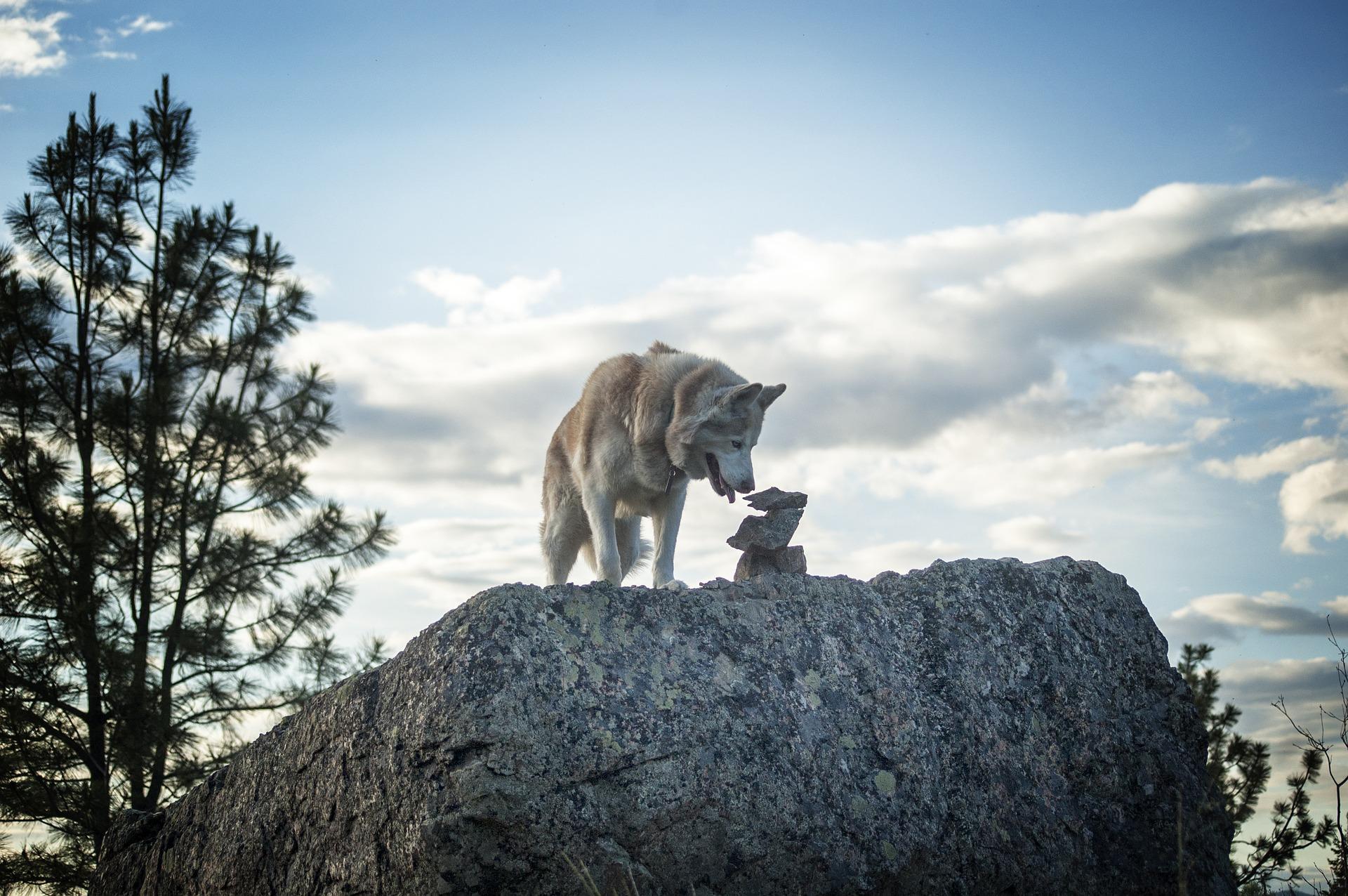 Husky Siberiano 17
