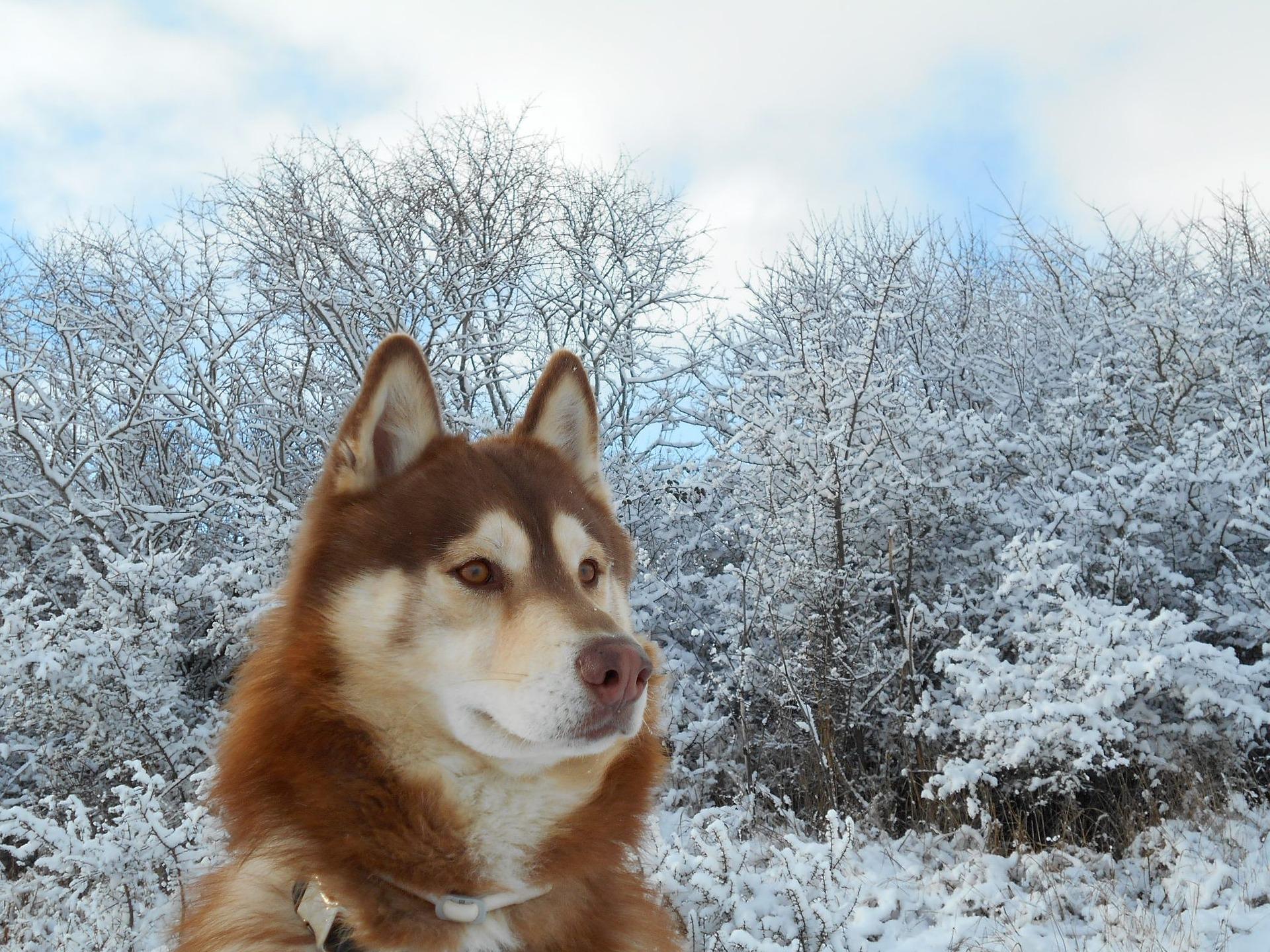 Husky Siberiano 20