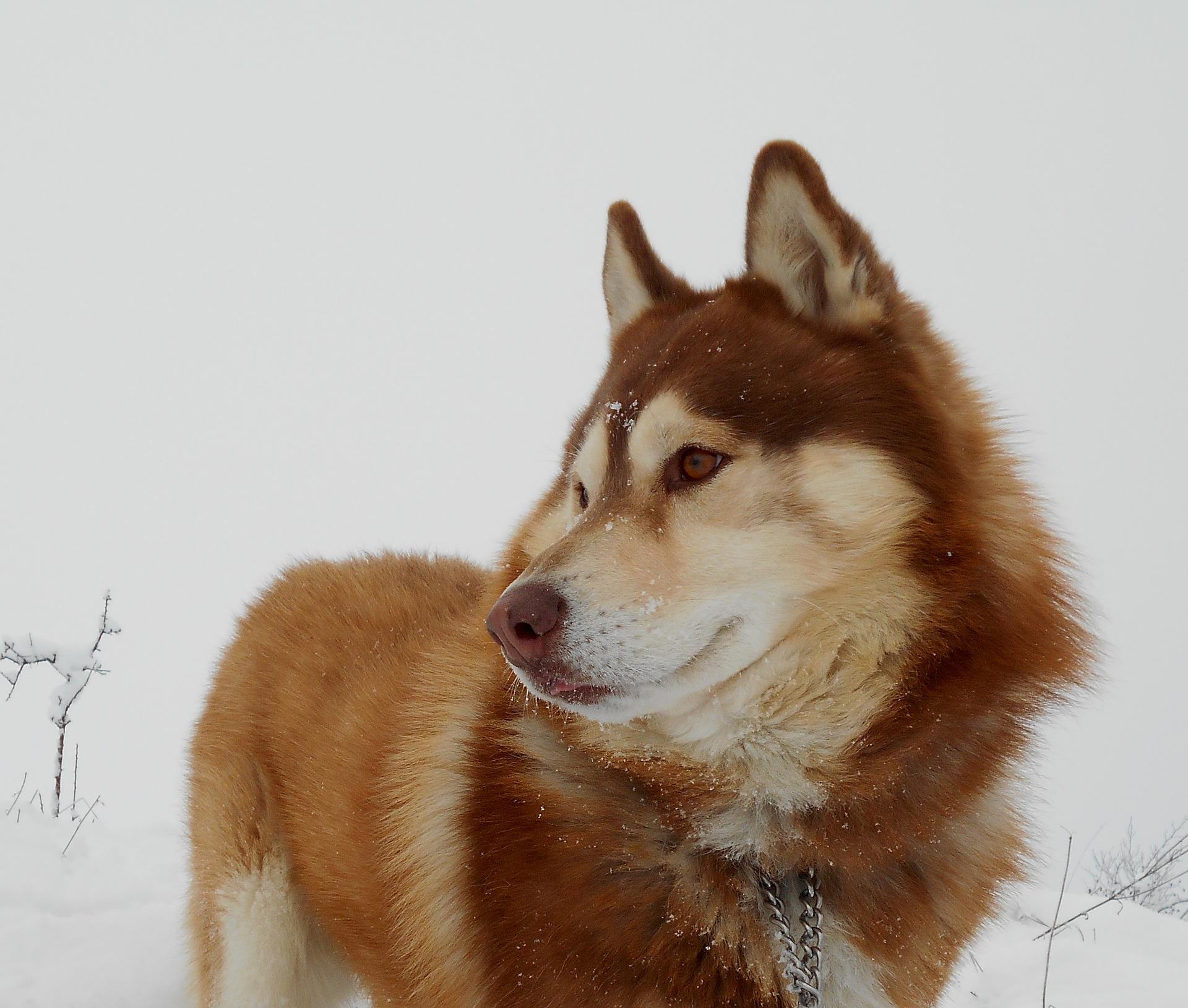 Husky Siberiano 16