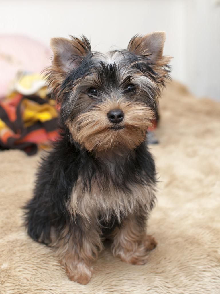 yorkshire terrier 9