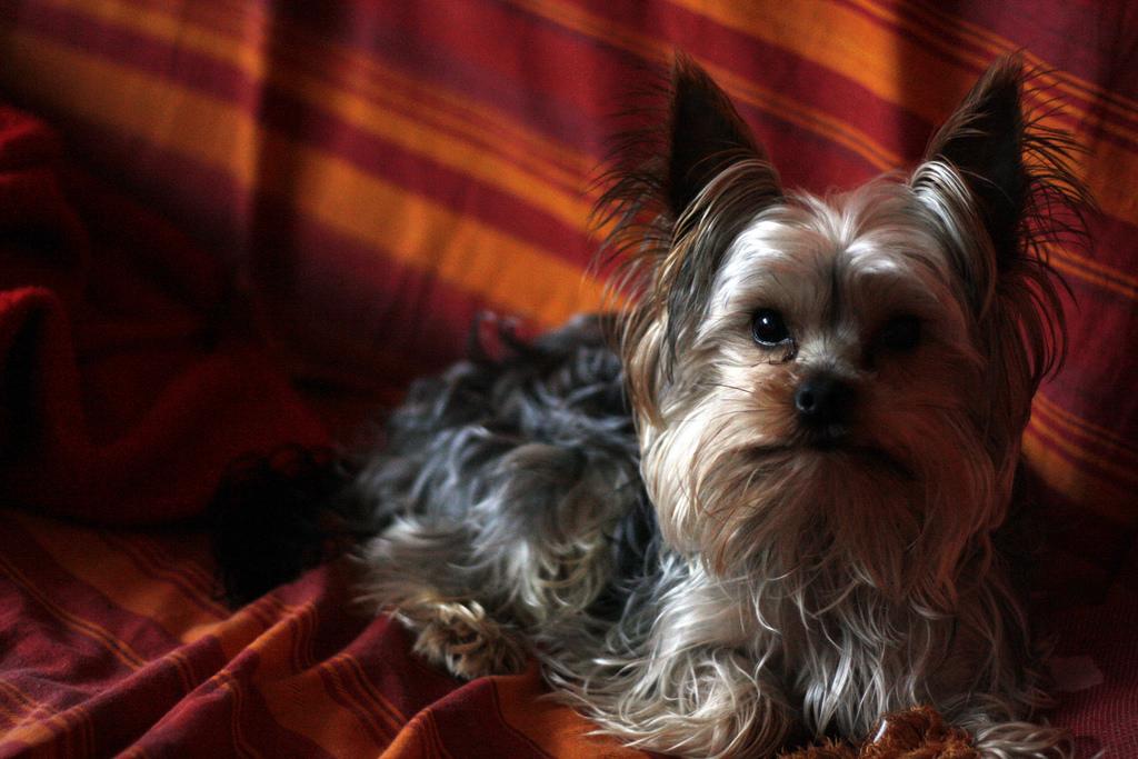 yorkshire terrier 4