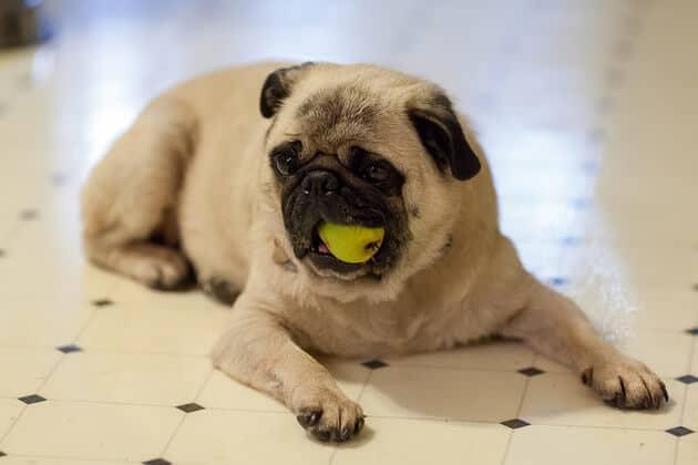 cachorro pode comer pera 2