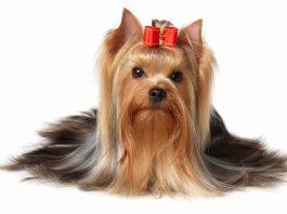 yorkshire terrier 1