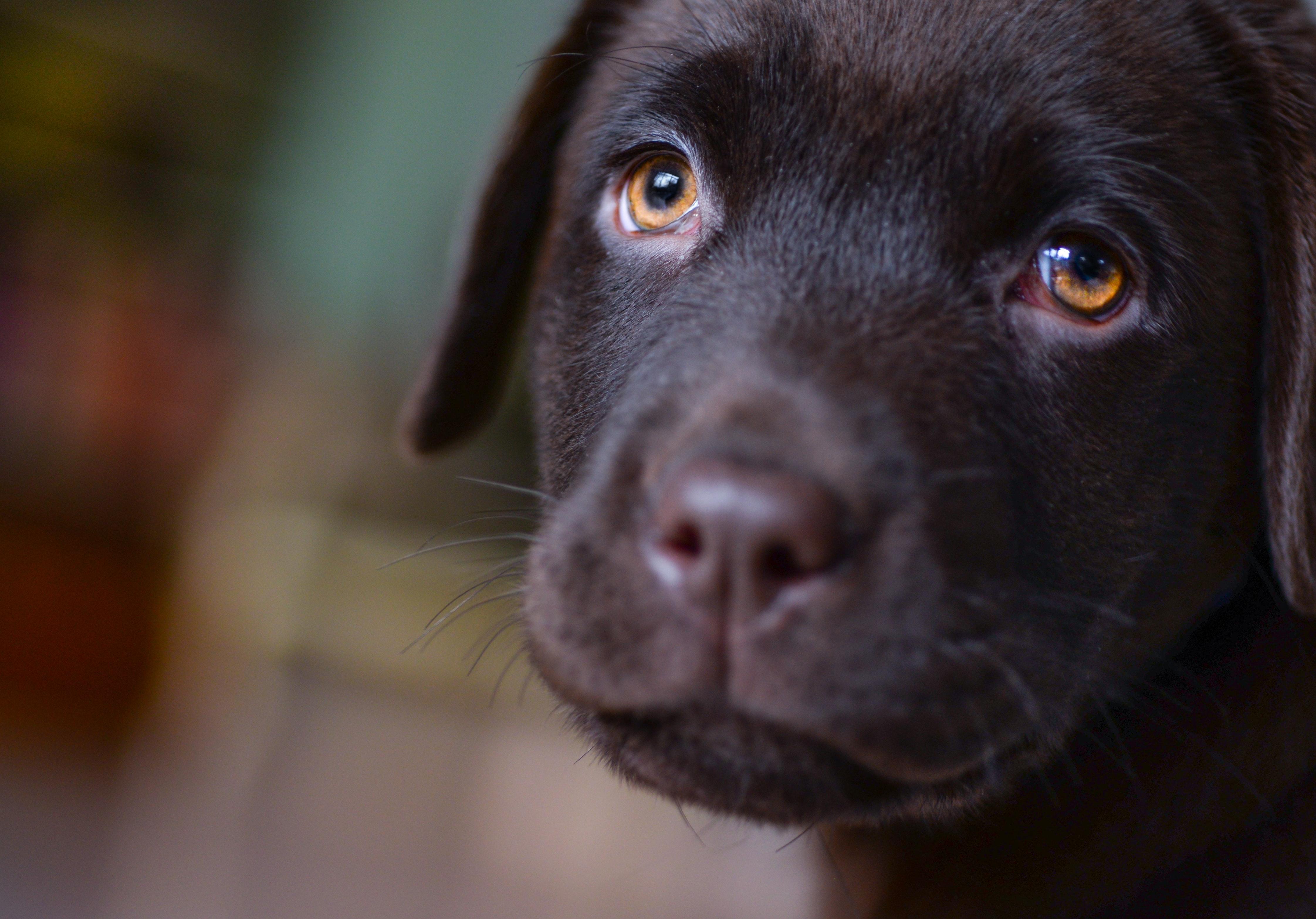 cachorro pode comer chocolate 4