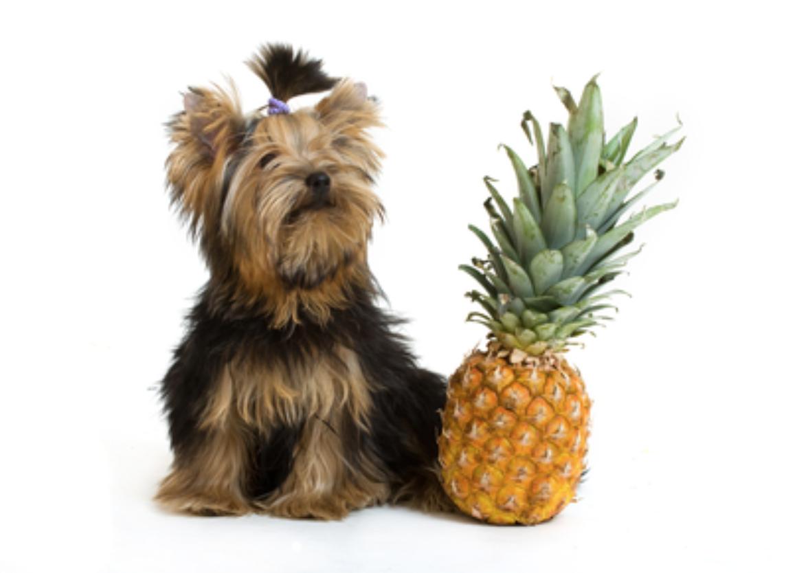 cachorro pode comer abacaxi 2