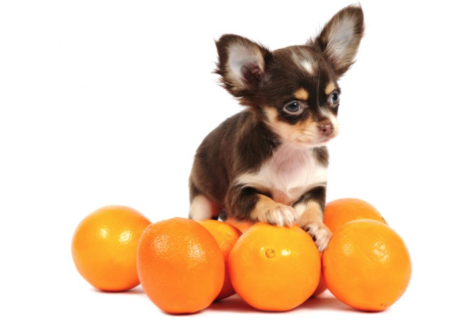 cachorro pode comer laranja 2