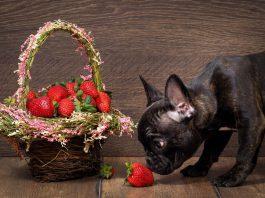 cachorro pode comer morango 1