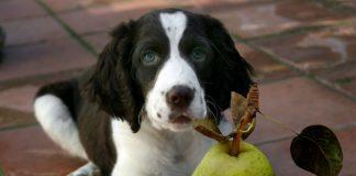 cachorro pode comer pera 1