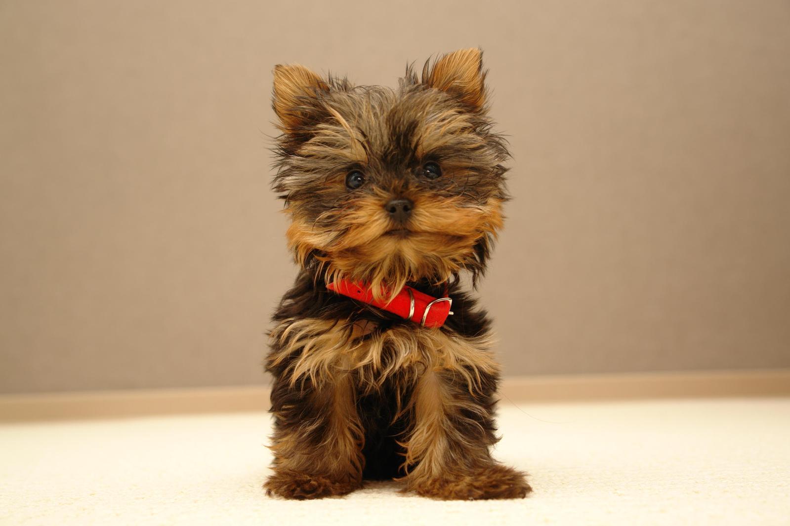 yorkshire terrier 6