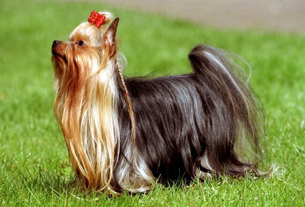 yorkshire terrier 7