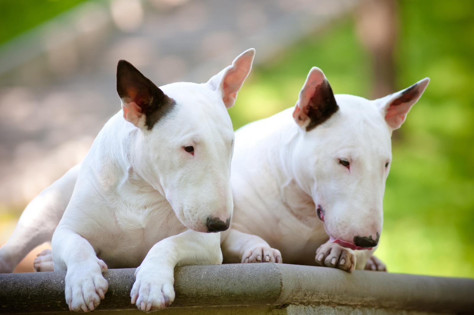 Bull Terrier 6
