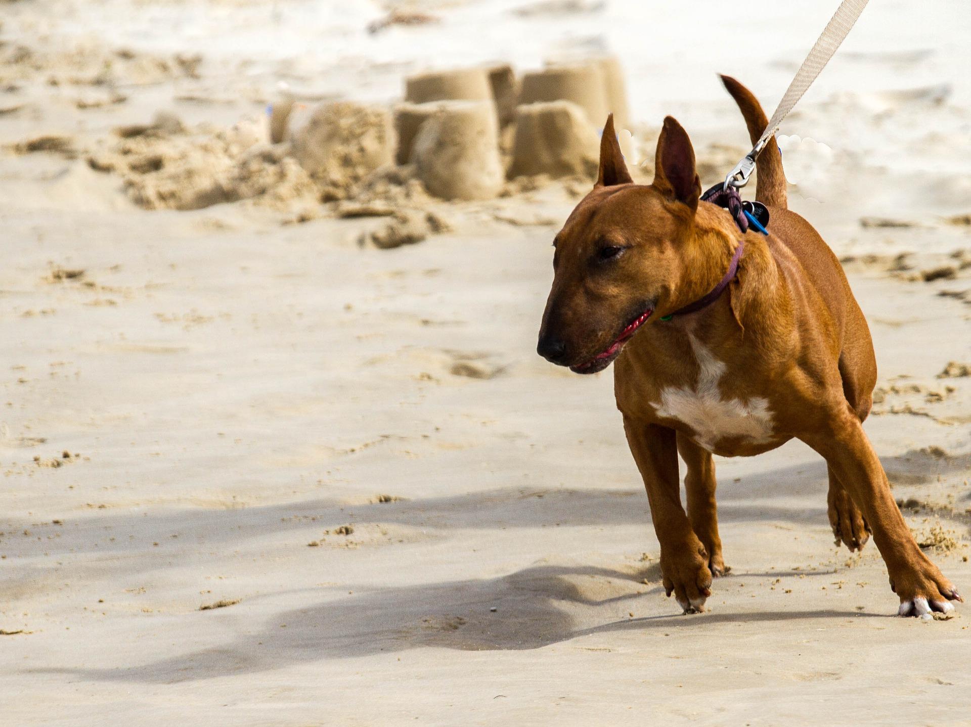 Bull Terrier 8