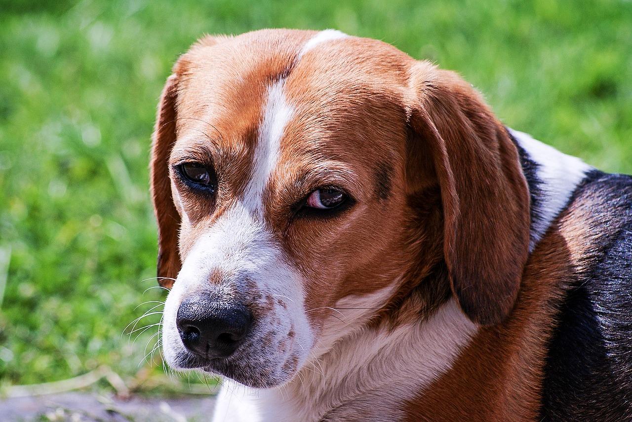 beagle 10