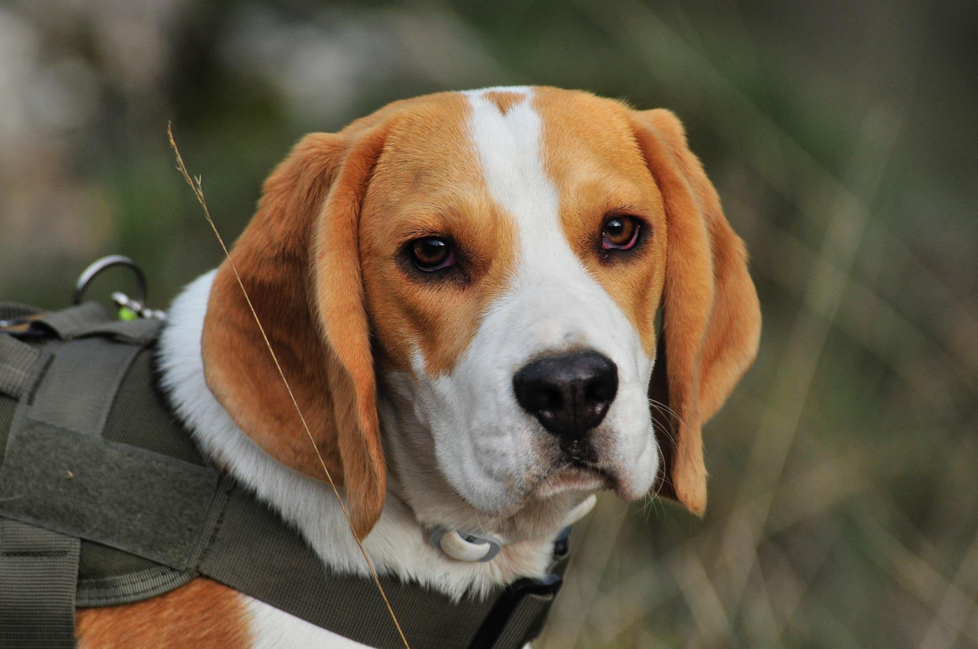 beagle 8