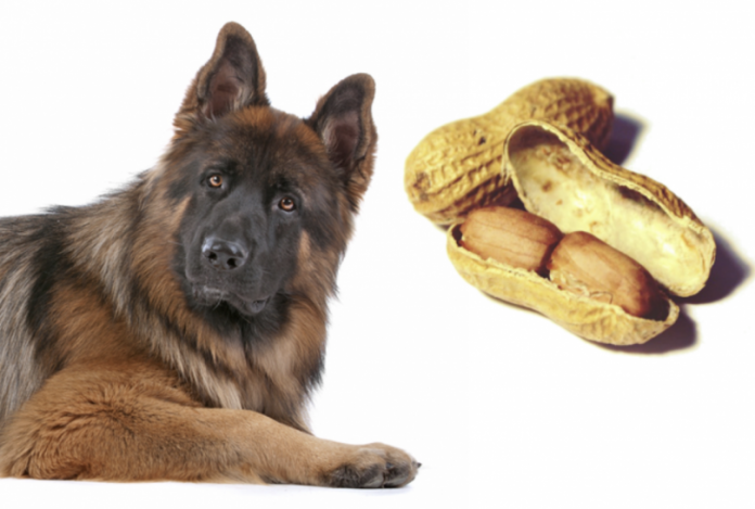 cachorro pode comer amendoim 1