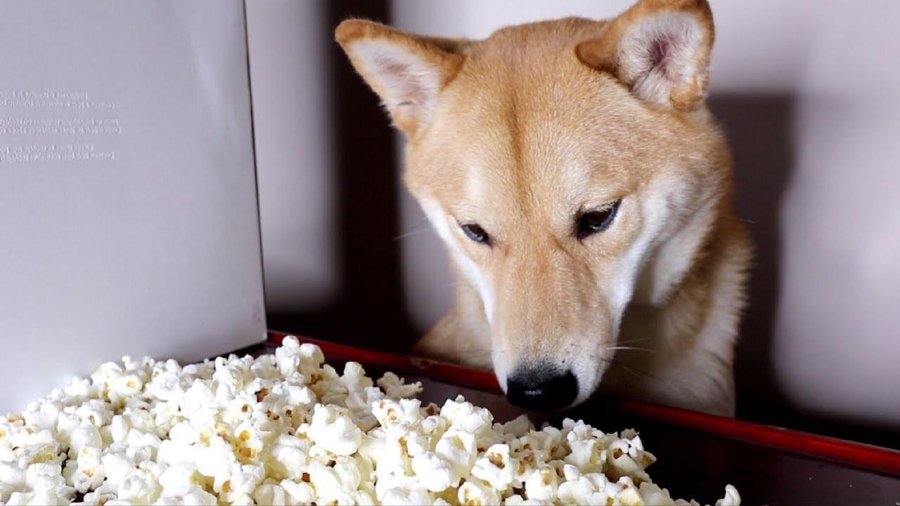 cachorro pode comer pipoca 5