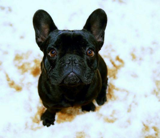 Bulldog francês 1