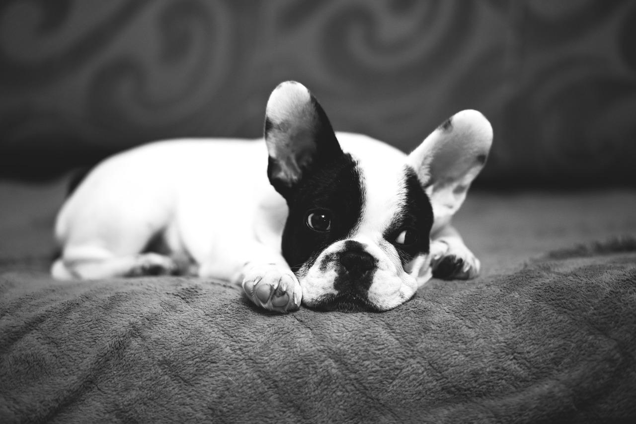 Bulldog francês 10