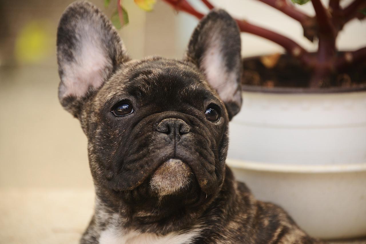 Bulldog francês 8