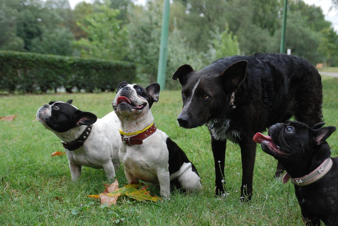 Bulldog francês 9
