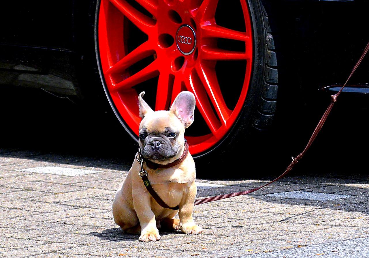Bulldog francês 4