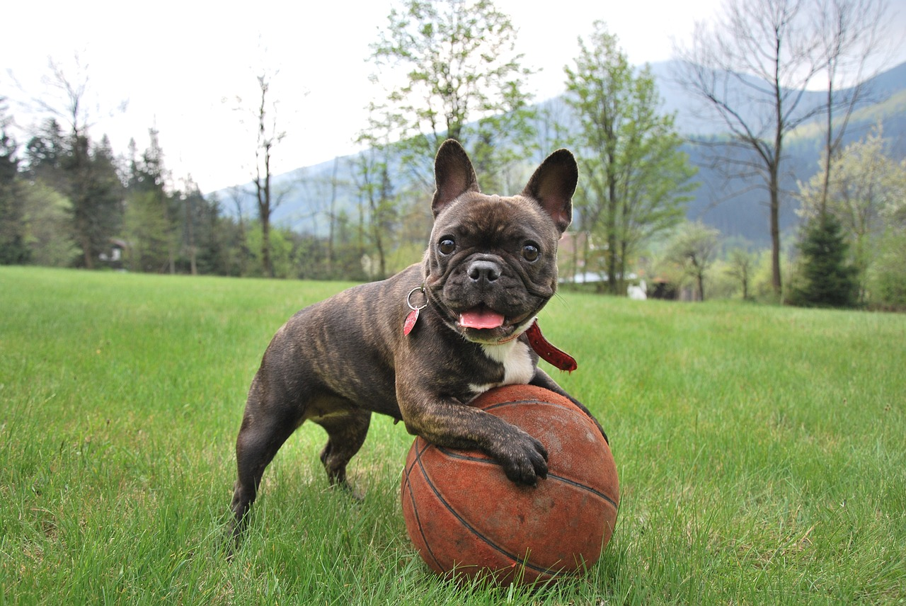 Bulldog francês 5