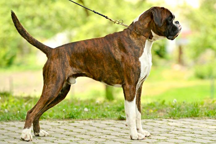 boxer 11