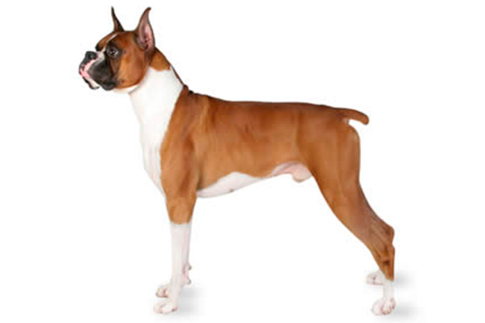 boxer 9