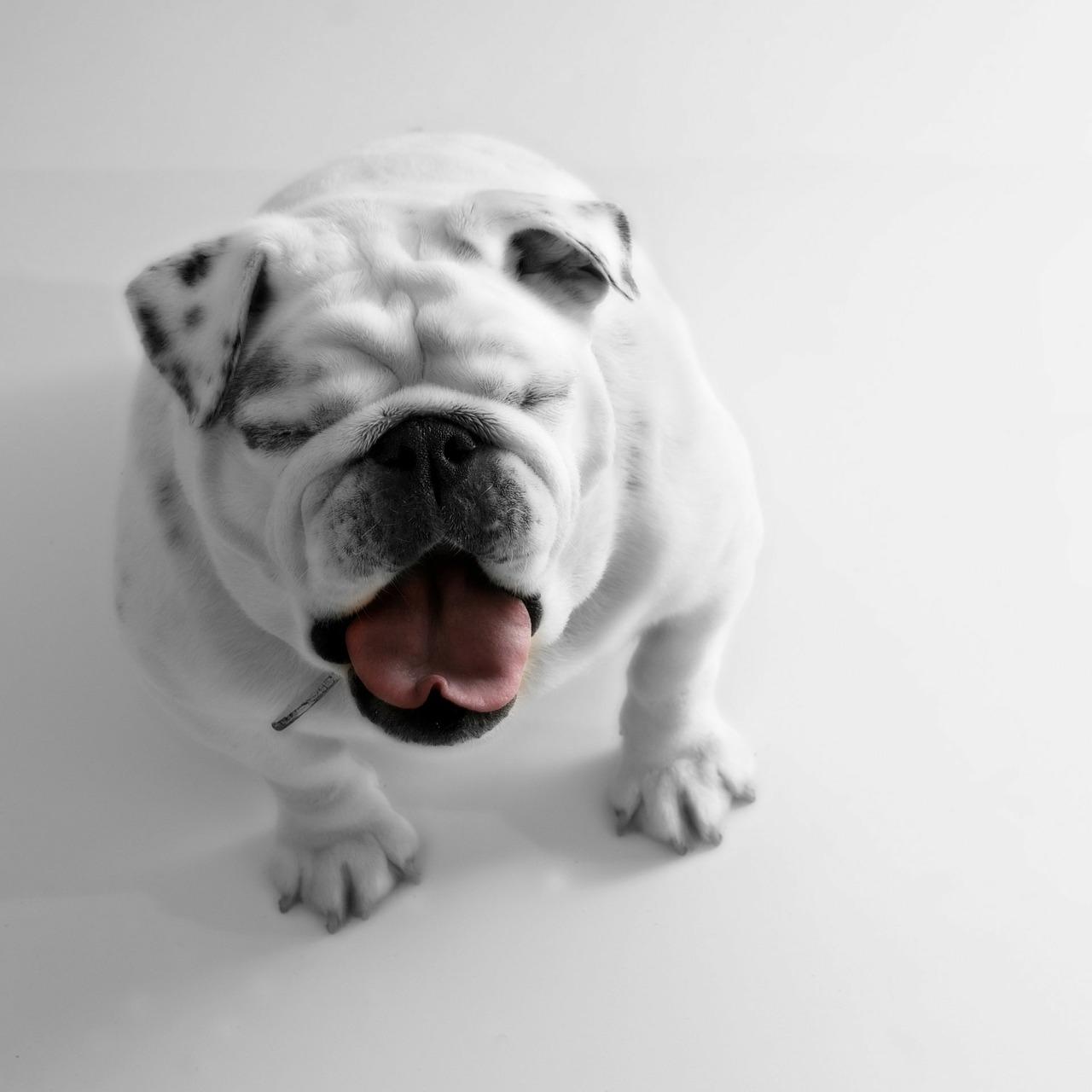 bulldog 5