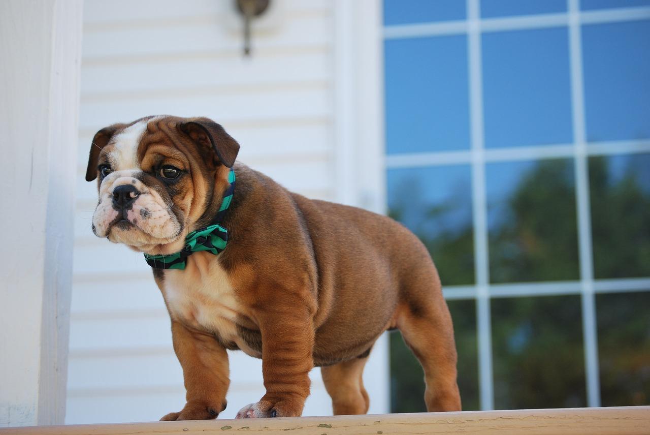 bulldog 10
