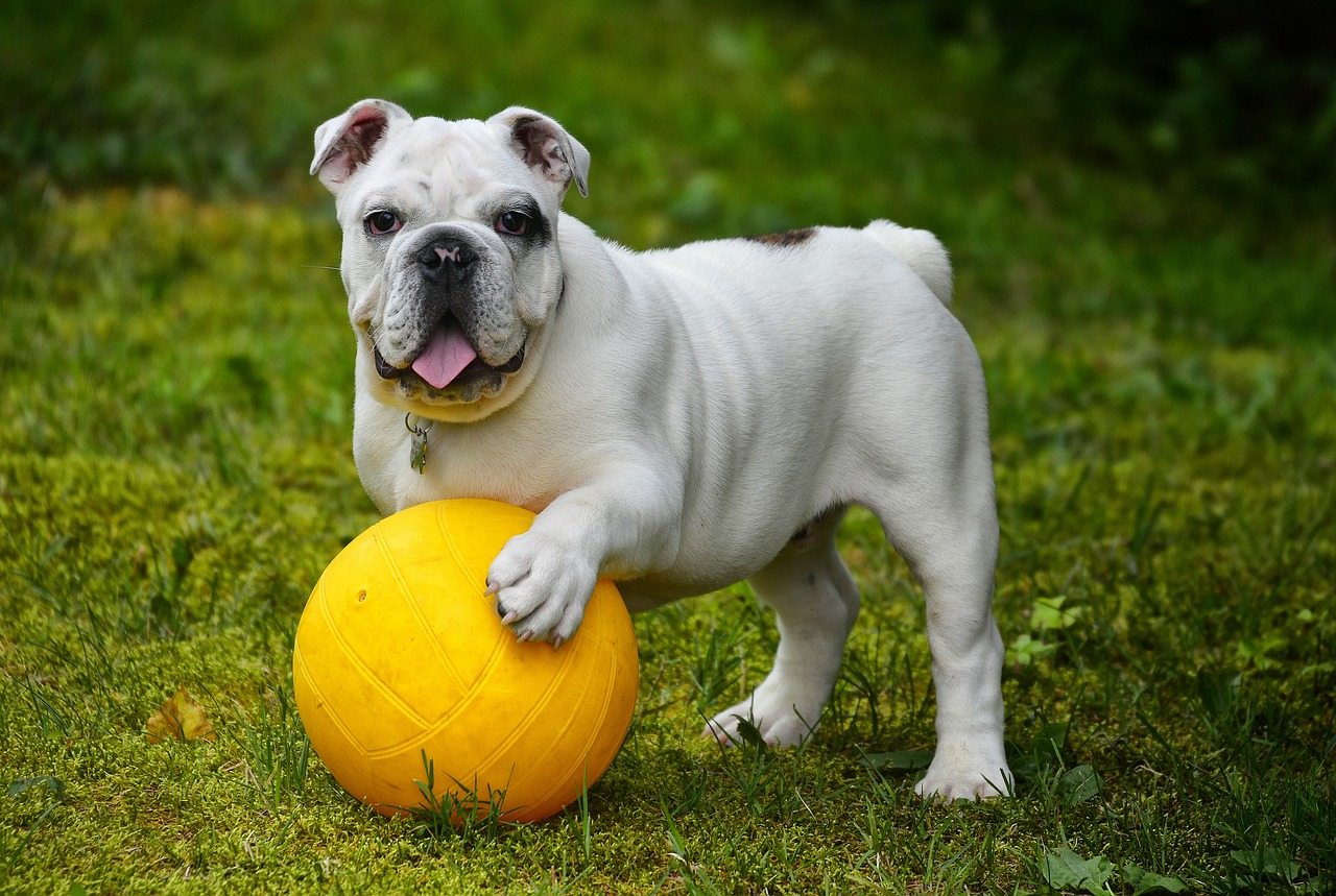 bulldog 14