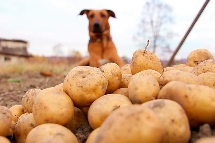 cachorro pode comer batata 2