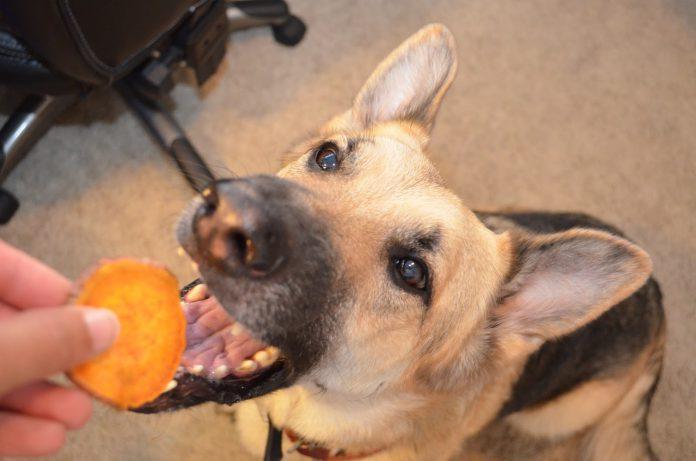 cachorro pode comer batata doce 1