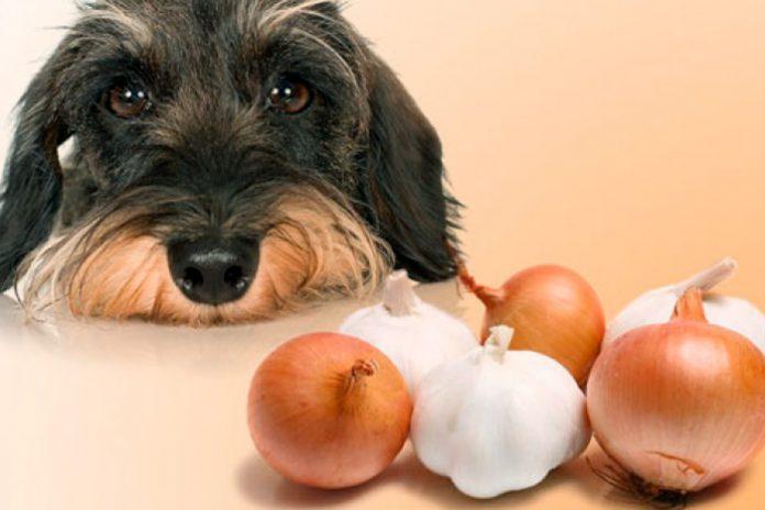 cachorro pode comer cebola 1