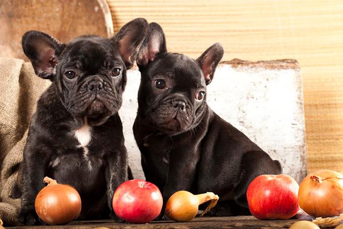 cachorro pode comer cebola 2
