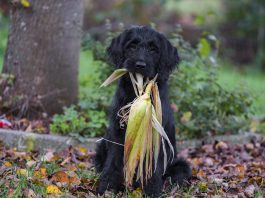 cachorro pode comer milho 1