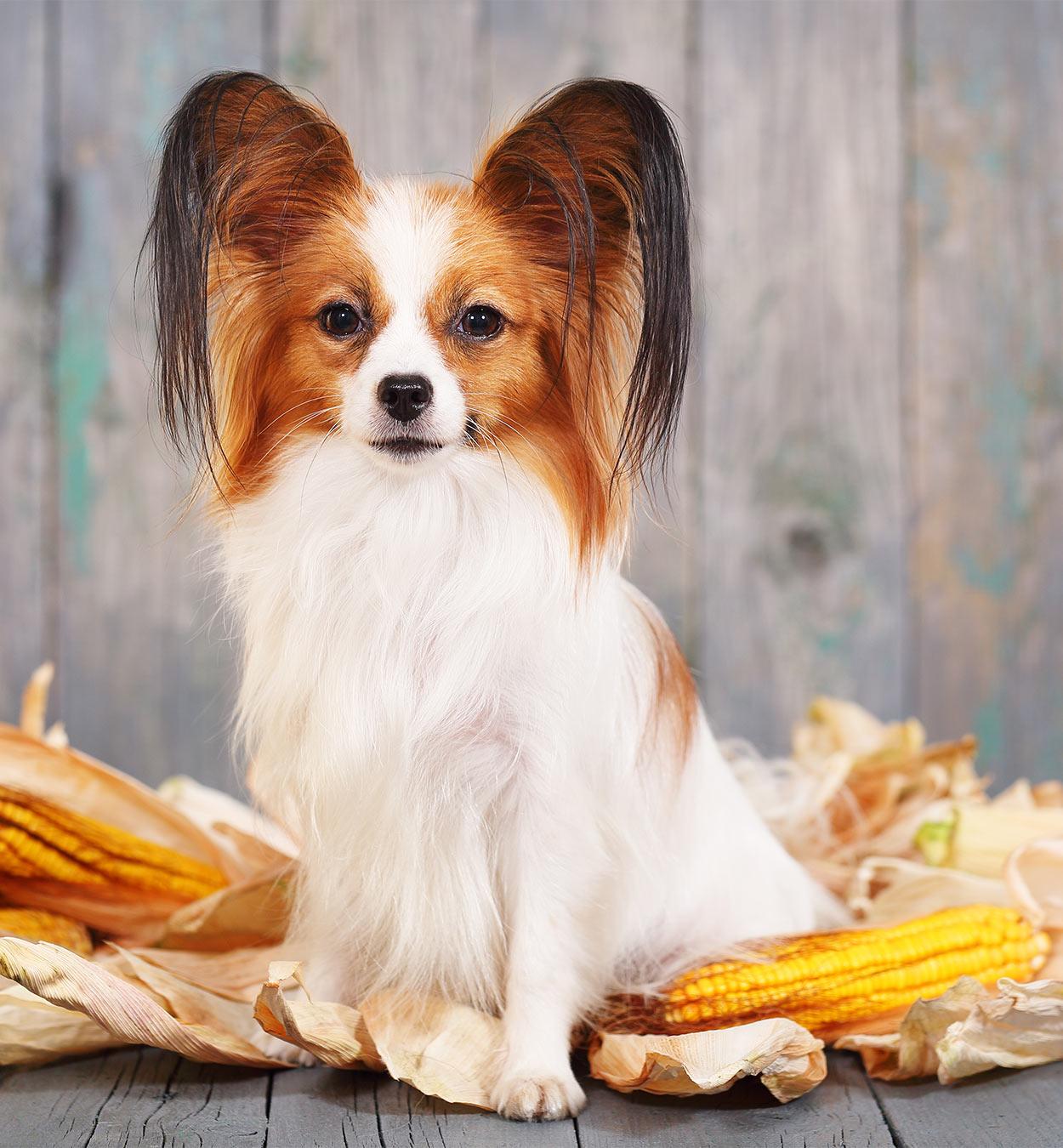 cachorro pode comer milho 4